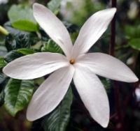 Gardenia scabrella