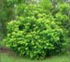 Phyllanthus cuscutiflorus